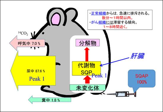 ラベル体とレブリチン排泄